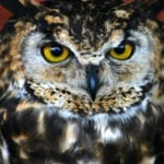 Cape Eagle Owl Closeup in the midlands