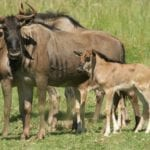 wildebeest calf in the midlands