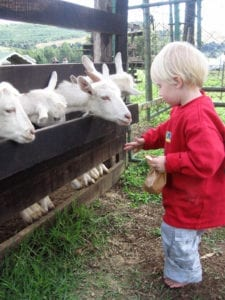 little boy feeding some goats in the midlands