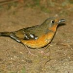 orange thrush in the midlands