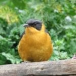 robin chorister in the midlands