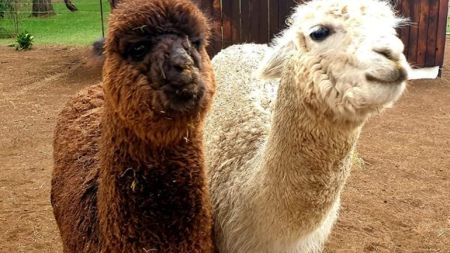 Endeavour Alpacas Open Day