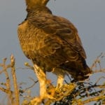 martial eagle in the midlands